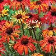 Botanical name: Echinacea 'Hot Summer'    Other names: Coneflower 'Hot Summer' Click image to learn more, add to your lists and get care advice reminders each month.