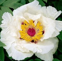 Song Sparrow Farm and Nursery: Tree Peonies 'Dojean' Song Sparrow, Plant Zones, Tree Peony, Red Flare, Peonies Garden, Types Of Flowers, Summer Garden, Spring Flowers, Garden Plants