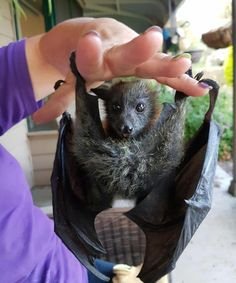 flying fox baby bat