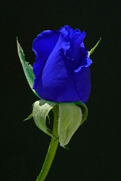 The Blue Moon Rose. by cathysapp- A blue rose? Not sure if this is real or photoshopped but what a beautiful color! Exotic Flowers, Amazing Flowers, Beautiful Roses, Beautiful Flowers, Colorful Roses, Pretty Roses, 3d Rose, Love Rose, Blue Moon Rose