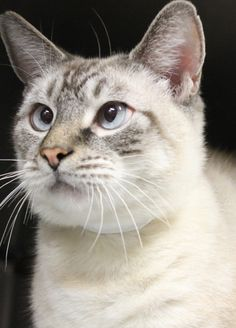 Ticket #227512. Snowball is dashingly HANDSOME!! He is a 4 year old, neutered Siamese Mix, Lynx Point. His crossed blue eyes are just adorable. Snowball has the looks but he also has personality, very loving and affectionate. Snowball will be...