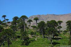 Картинки по запросу Араукария чилийская