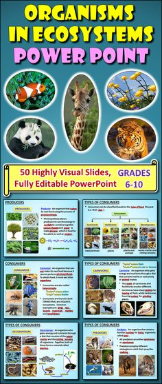 This 50 SLIDE EDITABLE POWERPOINT contains numerous high resolution graphics and videos to help students learn about producers, consumers, carnivores, herbivores, omnivores, decomposers, predators and scavengers. The students will find the visuals very engaging and the lesson sequence easy to follow as well as informative. This lesson is always a hit.