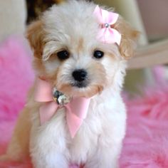 Malti-Poo.. the more and more I see these little dogs the more i kinda like them :)