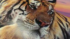#tiger #wallmural