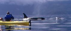 Kayak Whale Watching in the San Juan Islands, Seattle, Washington    This is number one on my bucket list....orcas not in captivity and SO CLOSE!!!!