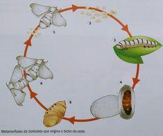 Ciclo de vida do bicho-da-seda