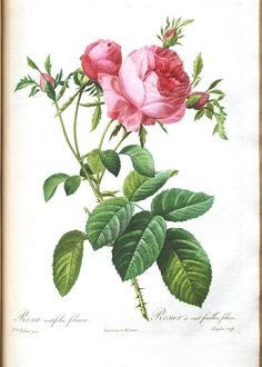Botanical - Flower - Les Roses 33