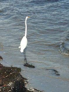 Egret Fishing on Sanibel Beach