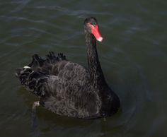 Being black, these swans were a subject to many superstisious beliefs