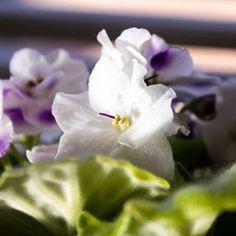 Magic is around you! Feel it  #africanviolet #iphone6splus #positivethinking #loa #rhondabyrne #igersaustralia #Australia #Queensland #purple #whiteflowers #flower