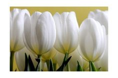 iCanvas Tom Quartermaine White Tulips on Yellow Wrapped Canvas Tulip Painting, White Tulips, Gradient Color, Printing Process, Find Art, Framed Artwork, Wrapped Canvas, Planting Flowers, The Row