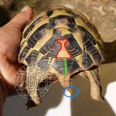 La tortue d'Hermann occidentale (Eurotestudo hermanni) Tortoise Habitat, Baby Tortoise, Different Types Of Turtles, Tortoises, Reptiles, Animals And Pets, Habitats, Pickle, Aquariums