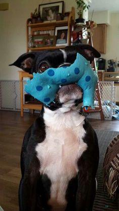 1d263d51b12 Dolly Boston Terrier Fave ❤ So precious
