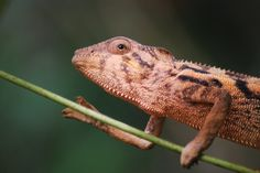 """Panther Chameleon"" by Rachel Jenkins: Whilst volunteering in Madagascar, I managed to capture an image of this beautiful female panther chameleon. After this image was taken she decided to climb onto me and explore."