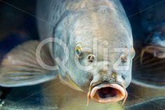 Qdiz Stock Photos | Carp fish in aquarium or reservoir under water,  #agriculture #animal #aquarium #aquatic #carp #closeup #dive #farm #fauna #fish #live #pool #swim #swimming #underwater #water