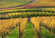 Autumn Vineyard by Habub3, via Flickr