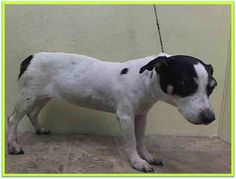 TO BE DESTROYED - 02/12/15 Manhattan Center  My name is LEXI. My Animal ID # is A1027669. I am a female white and brown parson russ ter mix. The shelter thinks I am about 8 YEARS old.  I came in the shelter as a OWNER SUR on 02/10/2015 from NY 10462, owner surrender reason stated was COST.