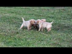 Labrador Retriever Puppies Missouri Ace Labradors Breeder Of