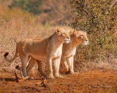 Lioness_20070801_1668.jpg | Flickr - Photo Sharing!