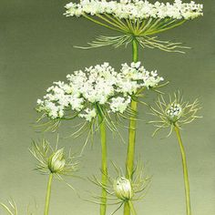 Queen Anne's Lace V Watercolor Artist, Watercolor Landscape Paintings, Watercolor Flowers, Botanical Drawings, Botanical Illustration, Botanical Prints, Lace Flowers, White Flowers, Beautiful Flowers
