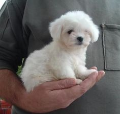 Small Hypoallergenic Dog Breeds | best small dog breeds: Maltese --Um, adorable!