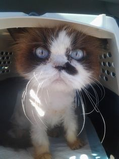 What An ADORABLE KITTY ~ Adorable Duchess!!  (from South Texas Persian Rescue) Any adoption info on this baby?