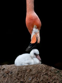 Mother Flamingo with baby