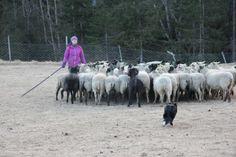 Havskumteppe | Trine's blog Goats, Horses, Blog, Animals, Animales, Animaux, Blogging, Animal, Animais