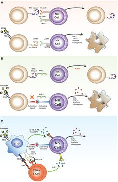 """Direct and indirect activation of NK cells. The """"classical"""" pathway of NK cell activation (A,B) results from skewing of the balance between signals transmitted via inhibitory and activating receptors. The """"indirect"""" pathway of NK cell activation results from contact-dependent and soluble signals derived from accessory cells and T cells transmitted to activating receptors on NK cells (C)."""