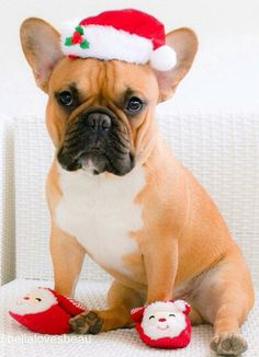 'Merry Christmas!,  So much French Bulldog Love