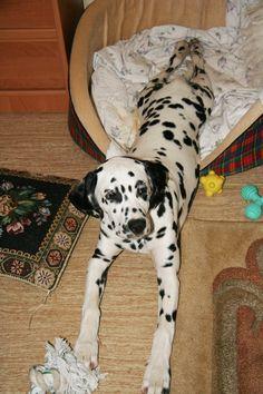 Dalmatian Lika, 5 months