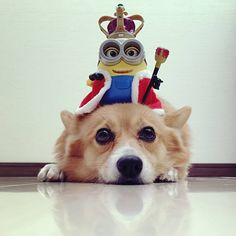 Minions make me laugh...said no Corgi EVER :)