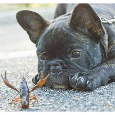 """What IS this??"", cute French Bulldog Puppy and a Crayfish."