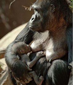 incrivelmente lindos Baby Gorilla and Mama Primates, Mammals, Gorilla Gorilla, Cute Baby Animals, Animals And Pets, Funny Animals, Beautiful Creatures, Animals Beautiful, Baby Gorillas