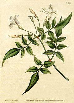 flor de Jasminum officinale DIBUJO - Buscar con Google