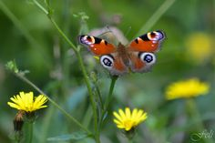Butterfly: Inachis io.  #friendsofphotooriginal  #bilbao  #macro  #macrophotography  #macroaddict  #macro4all  #nature  #naturephotography  #nature... - Feli Gil Davila - Google+