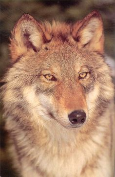 There are only a few hundred red wolves left and most of them are in captivity.