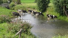 Cows crossing the Geul, Zuid-Limburg, Netherlands