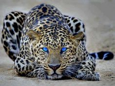 Blue Eyes, Panthers have Blue Eyes..