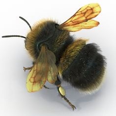 Bumblebee Model available on Turbo Squid, the world's leading provider of digital models for visualization, films, television, and games. Beautiful Creatures, Animals Beautiful, Cute Animals, Butterfly Kisses, Butterflies, I Love Bees, Bee Tattoo, Bumble Bees, Bee Art