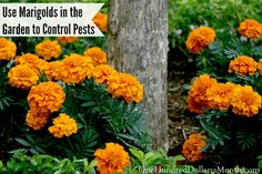 Using Marigolds in the Garden to Control Pests