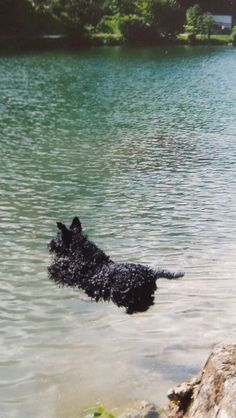 Kerry blue terriers are brave swimmers