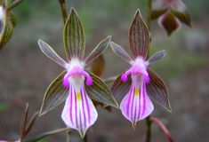 Orchid: Tetramicra tenera - Found in Cuba as a small to medium-sized, hot-growing terrestrial in red clayey, serpentine soils or white sands on exposed hill-tops in pine woodlands, savannahs and pine barrens; Photo by © Fabiola Areces and The New York Botanical Garden Website