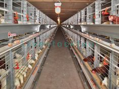 Layer cage also known as battery cage or poultry cage, which is used for rearing egg-laying chickens after the pullet has grown for 12 to 16 weeks. Chicken Bird, Chicken Cages, Laying Hens, Laying Chickens, Poultry Cage, Livestock, Layers, Home And Garden