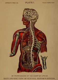 Plate I. Back and side view of central nervous system.Plain home talk about the human system. 1896.