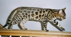 NAME, type and pics of  large spotted WILD cats | Bengal Cat
