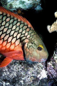 Stoplight Parrotfish.