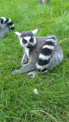 Lemur Lynx, Lemurs, Animal Alphabet, Llamas, Monkeys, Bear, Fantasy, Future, Animals