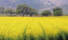 Mustard fields - I'm allergic, but they sure are beautiful.